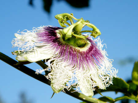 passiflora: Passiflora flower isolated in Or Yehuda, Israel