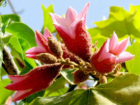 Flowers on a Pink Brachychiton Discolor tree in Or Yehuda, Israel