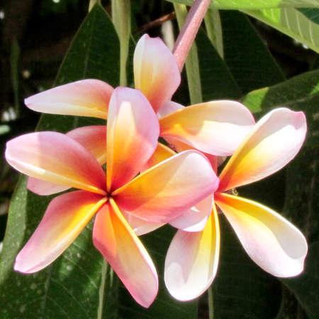 fragrant bouquet: Beautiful pink Frangipani flower in Or Yehuda, Israel