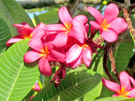 fragrant bouquet: Beautiful red Frangipani flowers in Or Yehuda, Israel