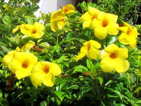 The flowers of Yellow Mandevilla Sanderi in Or Yehuda, Israel 版權商用圖片