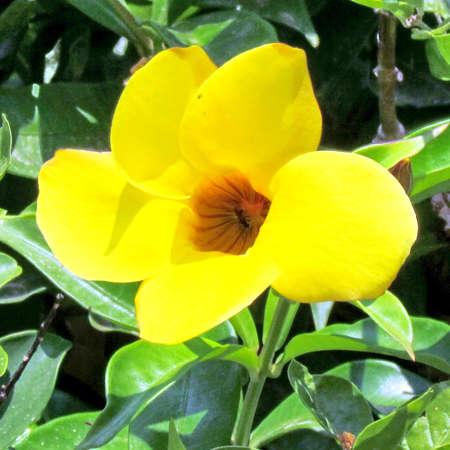 Flower of Yellow Mandevilla Sanderi in Or Yehuda, Israel