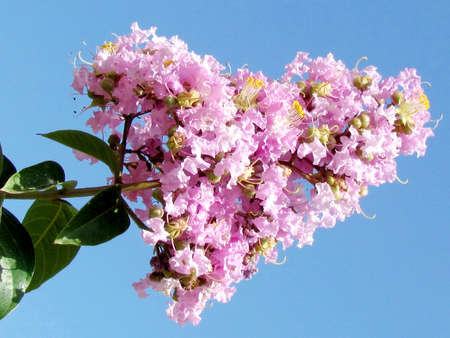dipladenia: Flowers branch of Pink Lagerstroemia Indica in Or Yehuda, Israel
