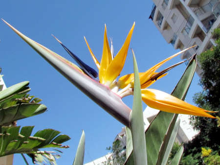 bird of israel: The Bird of Paradise flower isolated in Or Yehuda, Israel