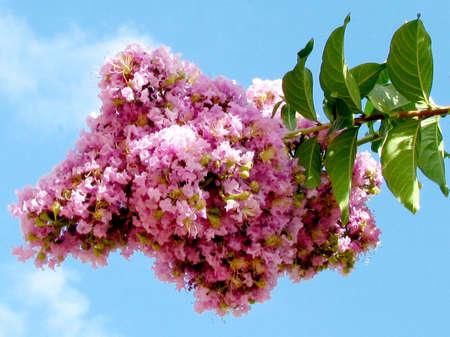 dipladenia: The flowers of Pink Lagerstroemia Indica in Or Yehuda, Israel