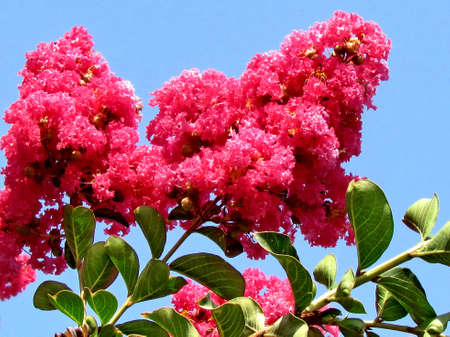 dipladenia: Red Lagerstroemia indica fiori in Or Yehuda, Israele