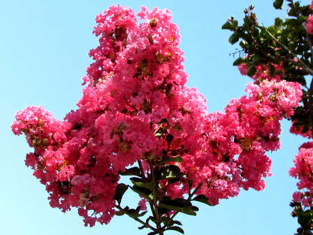 Red Lagerstroemia Indica brahch in Or Yehuda, Israel