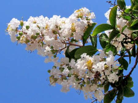dipladenia: Bianco Lagerstroemia indica fiori in Or Yehuda, Israele Archivio Fotografico