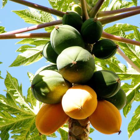 papaya tree: The Papaya fruit on a tree in Or Yehuda, Israel