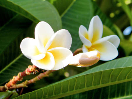 fragrant bouquet: Two white Frangipani flowers in Or Yehuda, Israel
