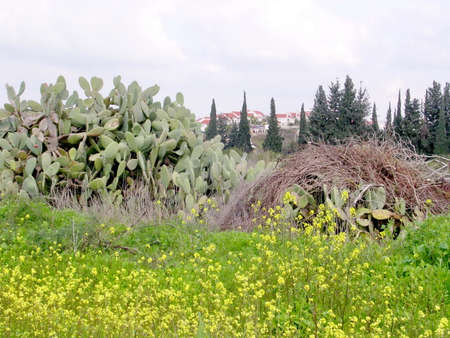Thickets of cactus near Shoham, February 2004 Israel