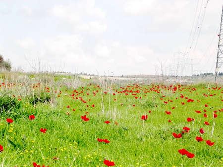 Crown Anemone flowers near Shoham forest park, February 2004 Israel Banco de Imagens