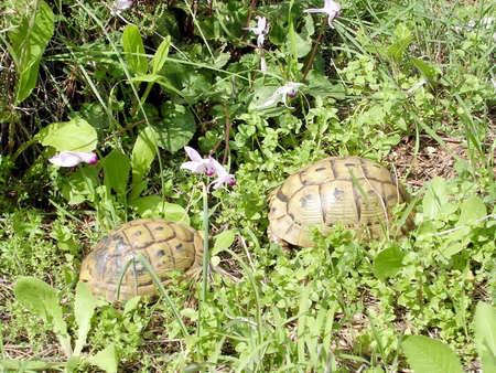 Two turtles in Shoham forest park, February 2004 Israel Reklamní fotografie