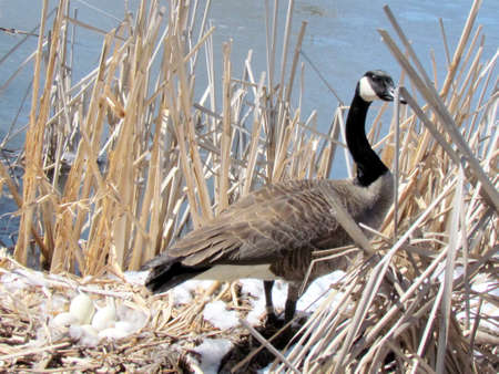 thornhill: The eggs of Canadian goose in nest on the bank of Oakbank Pond in Thornhill, 5 April 2016 Canada Stock Photo