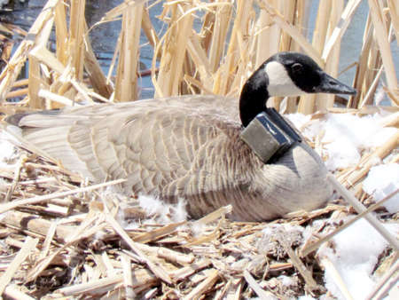 oakbank: Canadian goose sitting on eggs in nest on the bank of Oakbank Pond in Thornhill, 5 April 2016 Canada