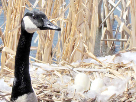 thornhill: Eggs of Canadian goose in nest near snow on the bank of Oakbank Pond in Thornhill, 5 April 2016 Canada Stock Photo