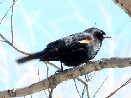 oakbank: Red-winged Blackbird on a tree near Oakbank Pond in Thornhill, 5 April 20016 Canada