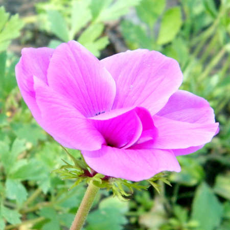 The pink Crown Anemone flower isolated in park in Ramat Gan, Israel