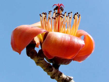 Beautiful  Bombax ceiba flower isolated in Edith Wolfson Park in Ramat Gan, Israel Stock Photo