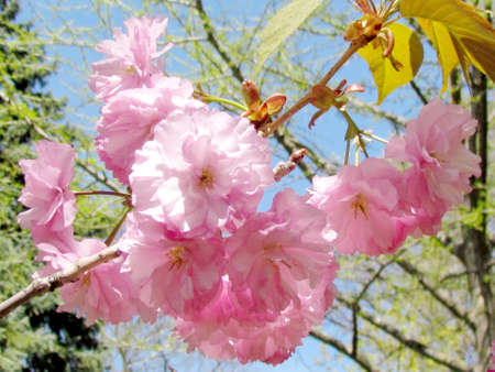 high park: The pink Sakura flowers in High Park of Toronto, 14 May 2015 Canada Stock Photo