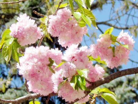 high park: Pink Sakura blossoms in High Park of Toronto, 14 May 2015 Canada Stock Photo