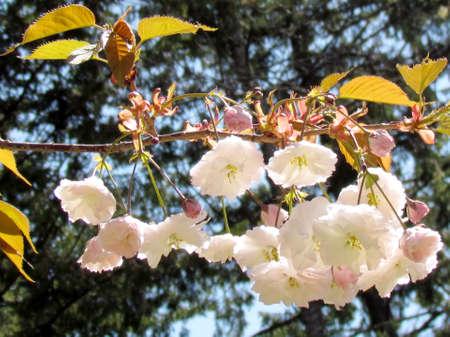 high park: Sakura branch in High Park of Toronto, 14 May 2015 Canada