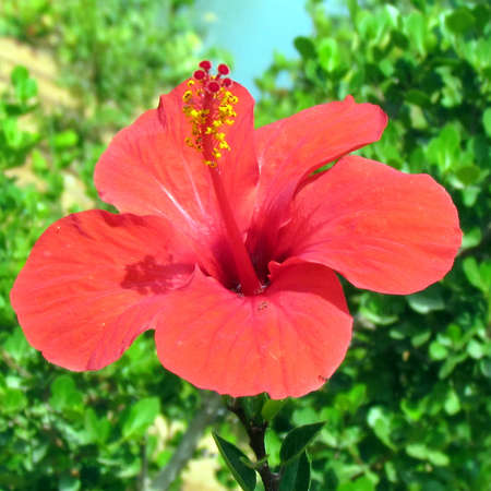 edith: Red Hibiscus in Edith Wolfson Park in Ramat Gan,31 May 2011 Israel
