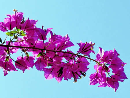 edith: Purple Bougainvillia branch in Edith Wolfson Park in Ramat Gan, 22 May 2011 Israel