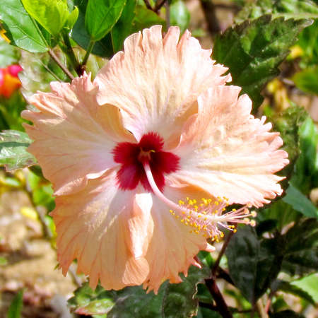 edith: Hibiscus flower isolated in Edith Wolfson Park in Ramat Gan,31 May 2011 Israel Stock Photo