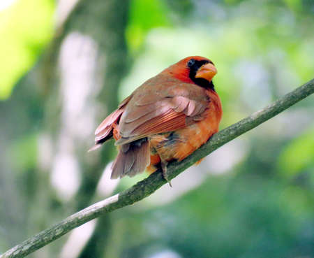 plummage: The Red Cardinal on a tree in forest of Mclean near Washington DC