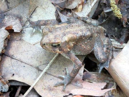 principe rana: La rana de la madera en el bosque de Mclean, cerca de Washington DC, 3 de Mayo el año 2016 EE.UU.