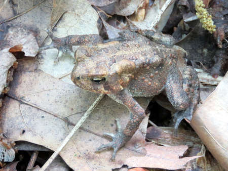 croak: The wood frog in forest of Mclean near Washington DC, 3 May 2016 USA