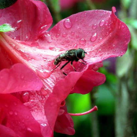 may fly: The fly on a azalea flower in Mclean near Washington DC, 3 May 2016 USA