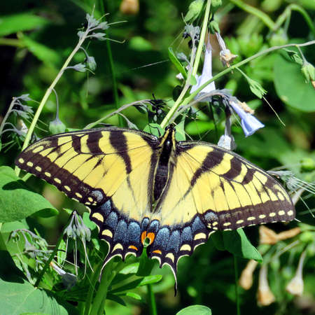 butterflies nectar: Eastern Tiger Swallowtail on a flower in forest on the banks of the Potomac River near Washington DC, 20 April 2016 USA Stock Photo