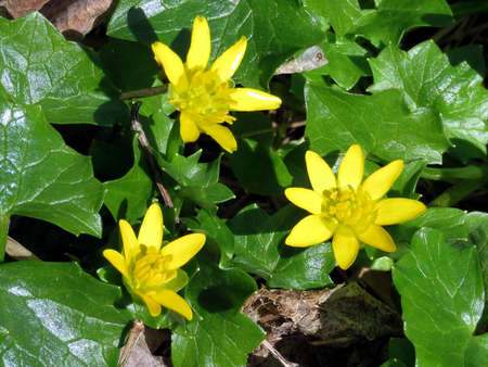 lesser: Lesser Celandine flowers in Mclean near Washington DC Stock Photo