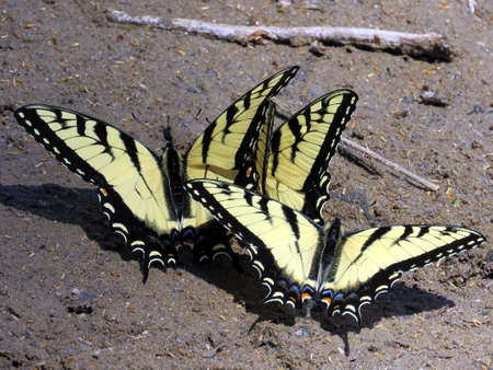 butterflies nectar: Three Eastern Tiger Swallowtail on the banks of the Potomac River near Washington DC Stock Photo