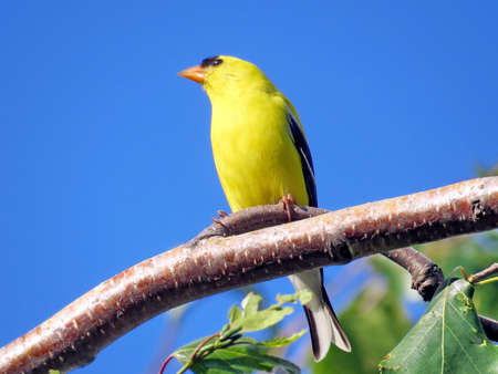 thornhill: The American goldfinch in Thornhill Ontario, Canada Stock Photo