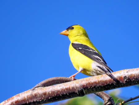 thornhill: American goldfinch on a branch of tree in Thornhill Ontario, Canada