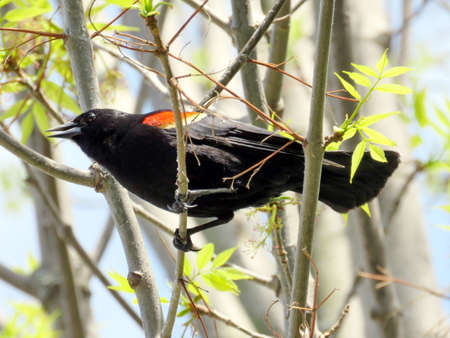 oakbank: The Red-winged Blackbird on a tree near Oakbank Pond in Thornhill, Canada Stock Photo