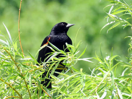 high park: Red-winged Blackbird in High Park of Toronto Ontario, Canada