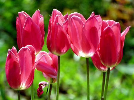 high park: Red tulips in High Park of Toronto Ontario, Canada