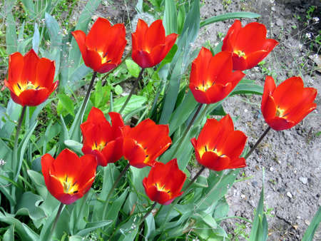 high park: The tulips in High Park of Toronto Ontario, Canada