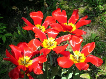 high park: The red tulips in High Park of Toronto Ontario, Canada Stock Photo