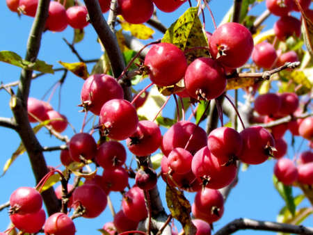 thornhill: The wild apples on a tree in Thornhill Ontario, Canada Stock Photo