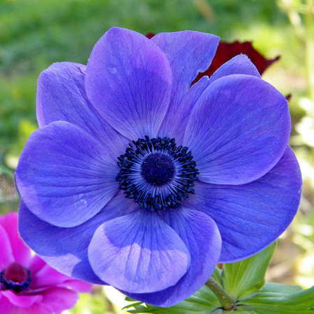 Blue Crown Anemone flower isolated in park in Ramat Gan, Israel