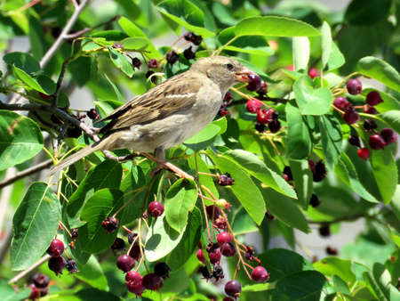 consuming: Sparrow consuming berries on bank of the Lake Ontario in Toronto, Canada Stock Photo