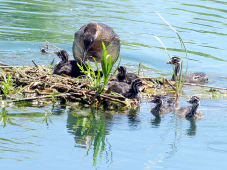 Red-necked grebe and chicks in nest on the Lake Ontario in Humber Bay Park of Toronto, Canada