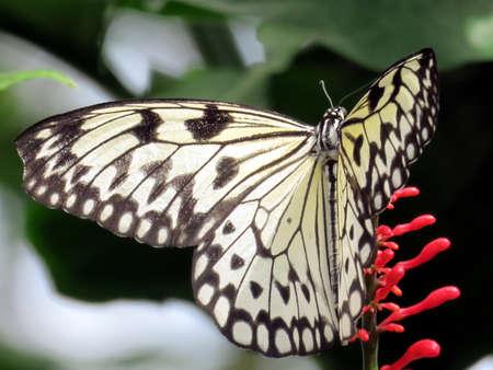 The Rice Paper butterfly (Idea Leuconoe) in garden of Niagara Falls Ontario, Canada