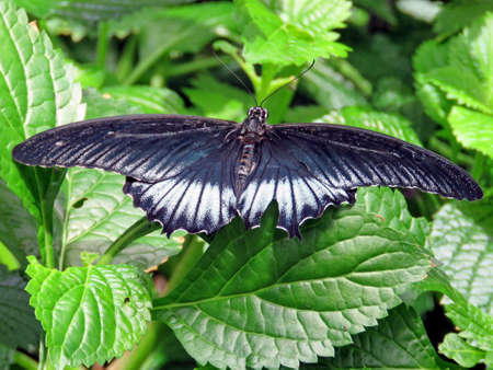forewing: Black Great Mormon butterfly in garden of Niagara Falls Ontario, Canada