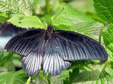 forewing: The black Great Mormon butterfly in garden of Niagara Falls Ontario, Canada